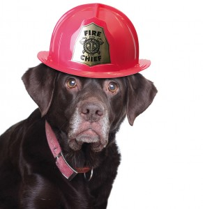 Old labrador retriever wearing a fire fighter helmet, studio iso