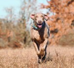 Weimaraner dog running on a dry grass field toward the viewer