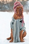 bigstock-Dogue-De-Bordeaux-dressed-with-25892036-300