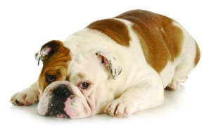 bigstock-sad-dog--english-bulldog-layi-17742035