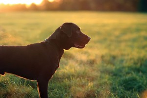 bigstock-chocolate-Labrador-Puppy-30225188