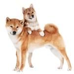 bigstock-shiba-inu-dog-with-a-puppy-45451327